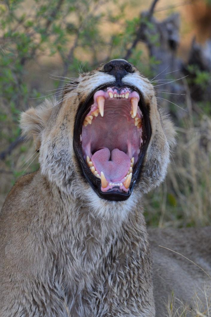 Löwengebiss