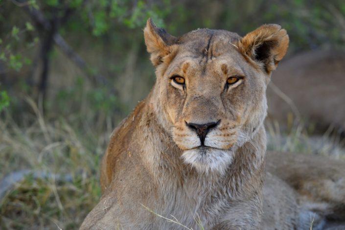 Löwenportrait im Abendlicht