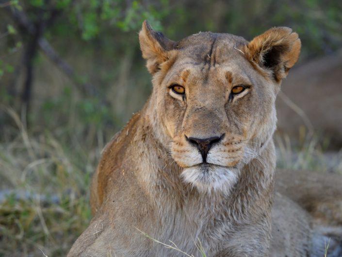 Magotho Löwen Botswana 2019