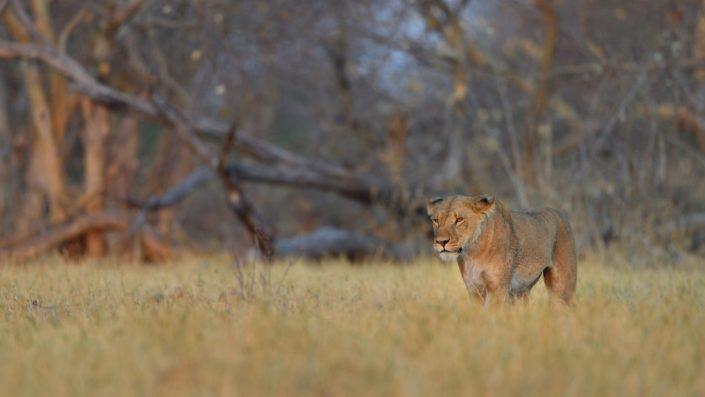 Löwen im Camp