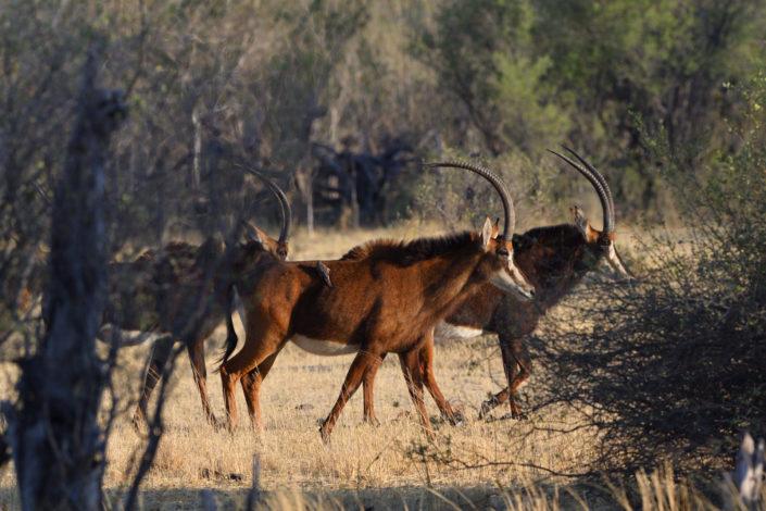 Sable Antilopes