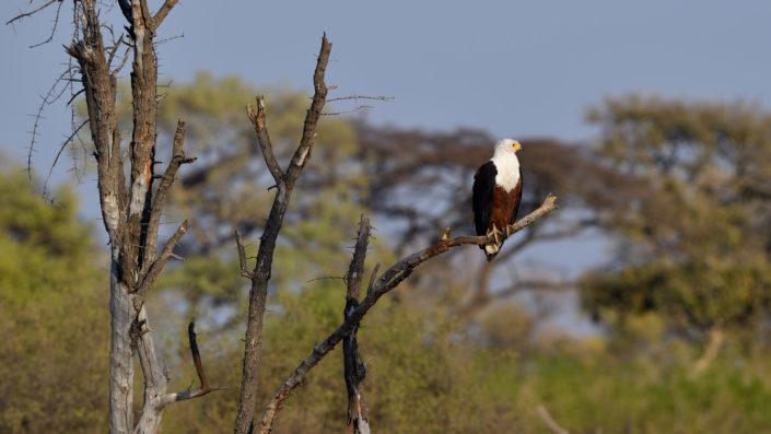 Weisskopf Schreiseeadler - African Fish Eagle
