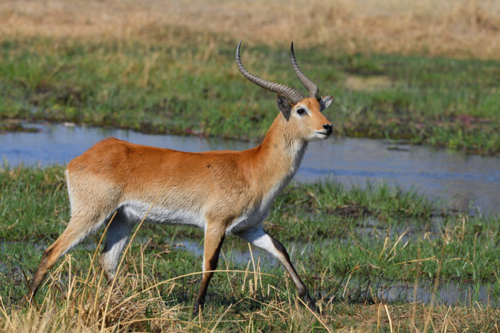 Letschwe Antilope