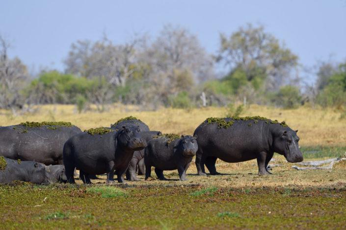 Hippo Familie am Ufer mit Wassergras auf dem Rücken