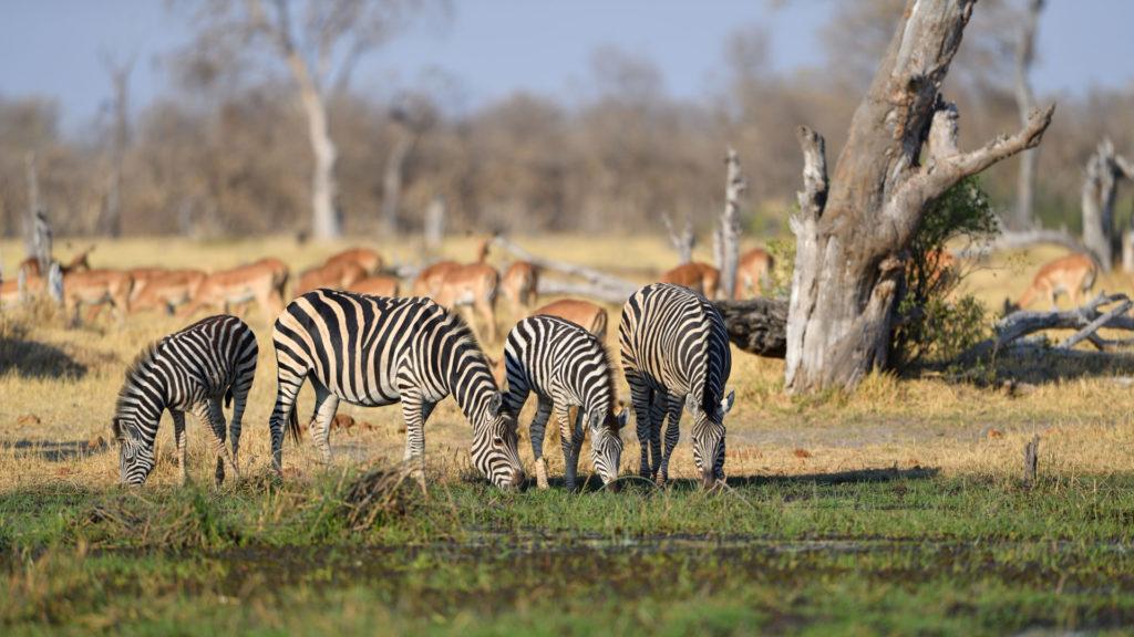 Zebras am Khwai River