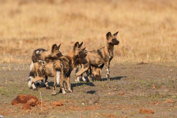Wild Dogs am Khwai River