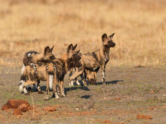 Wild Dogs Botswana 2019