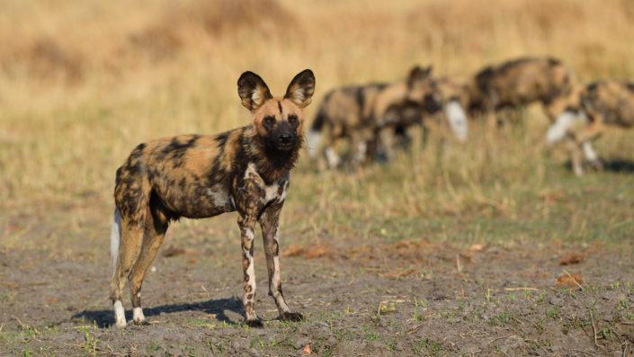 Wildhund mit grossen Ohren