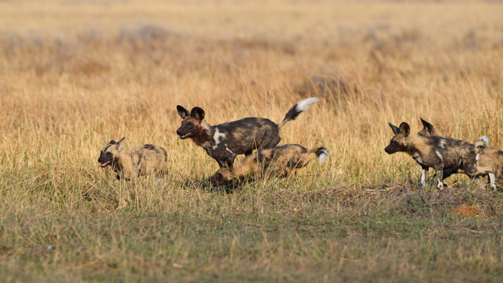 African Wild Dogs at Khwai River Botswana