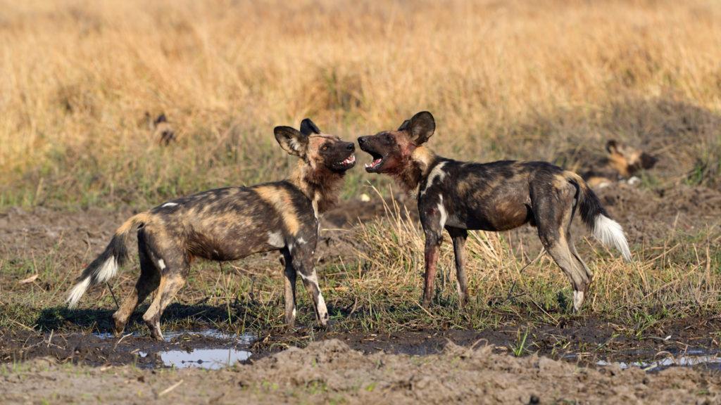 Zwei Wildhunde begrüssen sich
