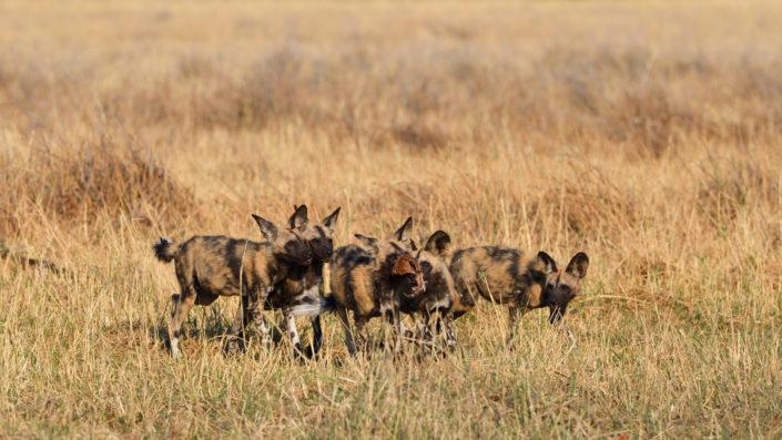 5 Wildhund Welpen mit Beute