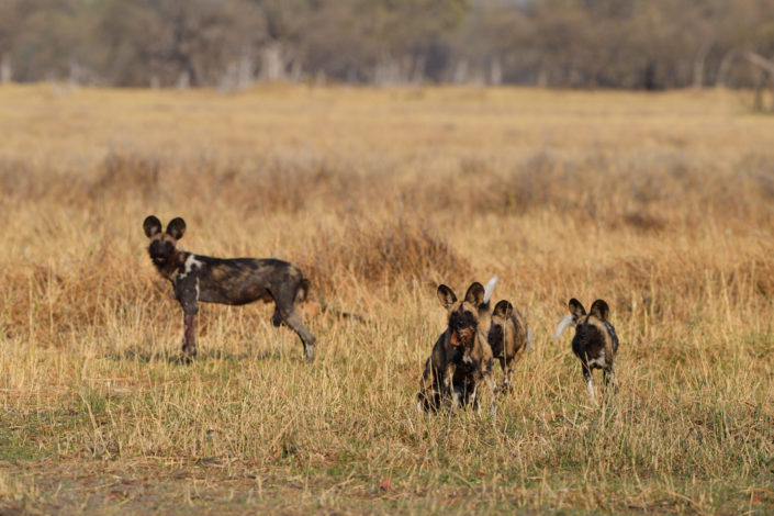 Verfolgungsjagd der Wild Dogs