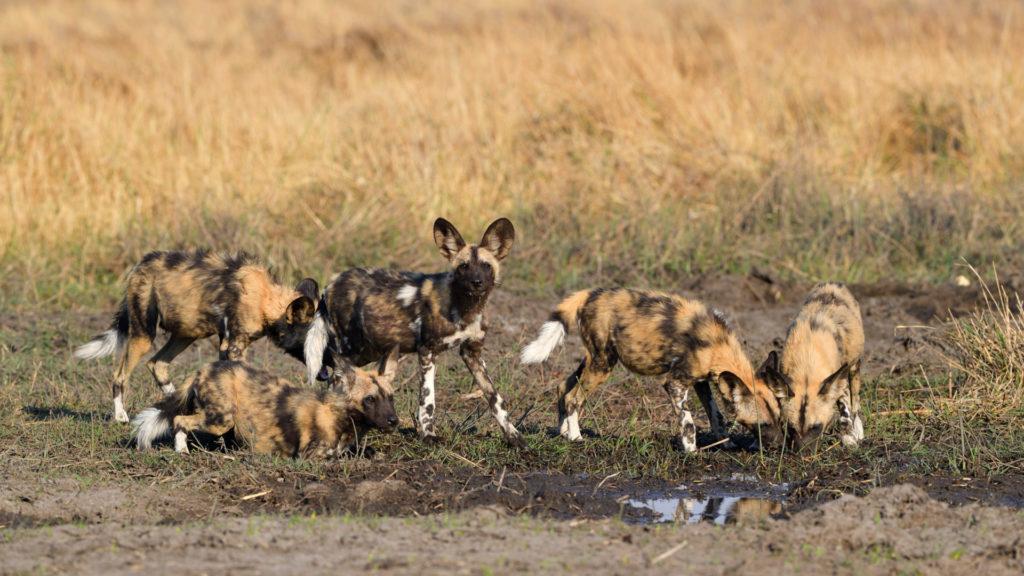 Fünf Wild Dog Welpen beim Trinken