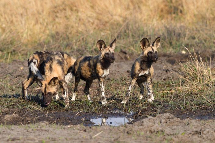 African Wild Dogs - afrikanische Wildhunde