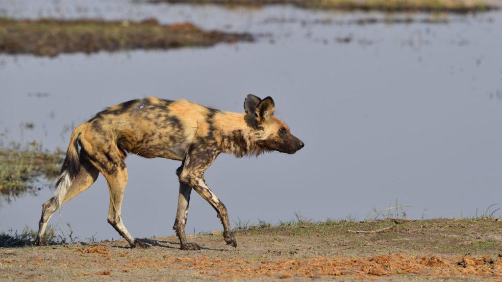 Wild Dogs sind die erfolgreichsten Jäger in Afrika