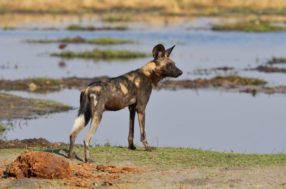 Wild Dog, das afrikanische Äquivalent zum Wolf