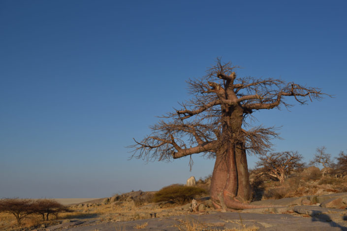Uralte Baobabs ragen in den blauen Himmel