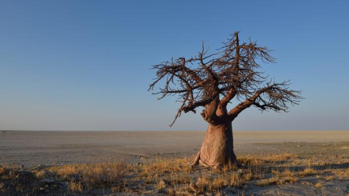 Baobab am Rand der Pfanne