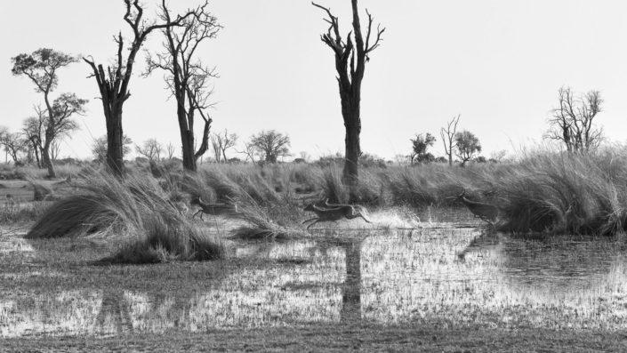 Letschwe Antilopen rennen duchs Wasser