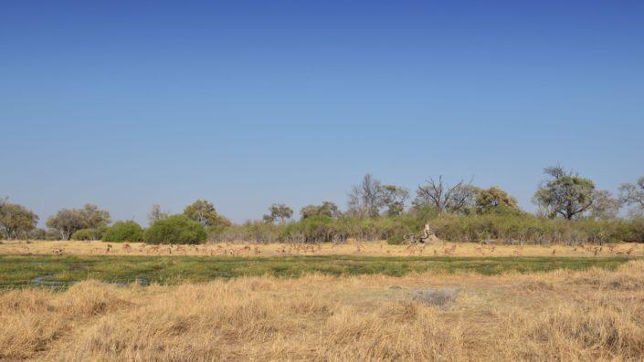 Impalas entlang des Khwai Rivers