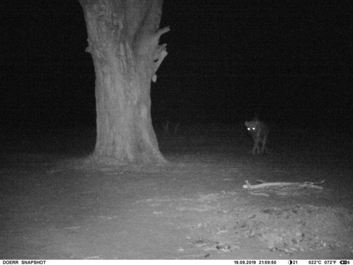 Hyänenbesuch