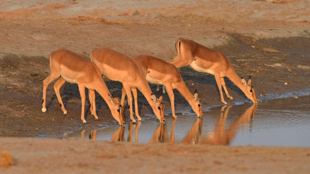 Impalas am Savuti Wasserloch