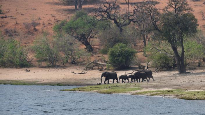 Elefanten Familie am Chobe River