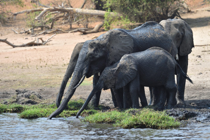 Elefanten mit langem Rüssel trinken Wasser aus dem Chobe River