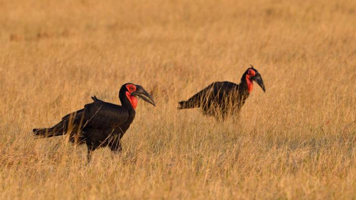 Ground Hornbill bei Khwai Campsite