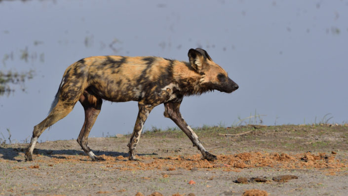 Wild Dog at Khwai River