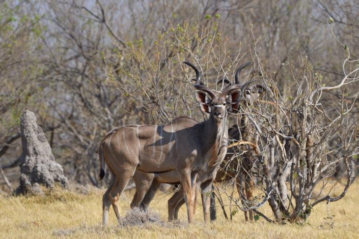 Kudu-Böcke