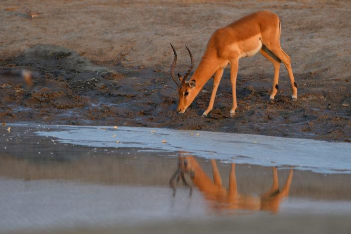 Impalabock am Savuti Wasserloch