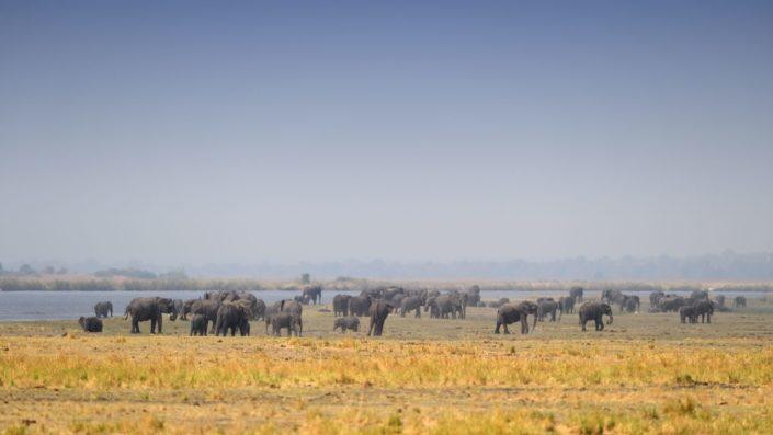 200 Elefanten am Chobe River
