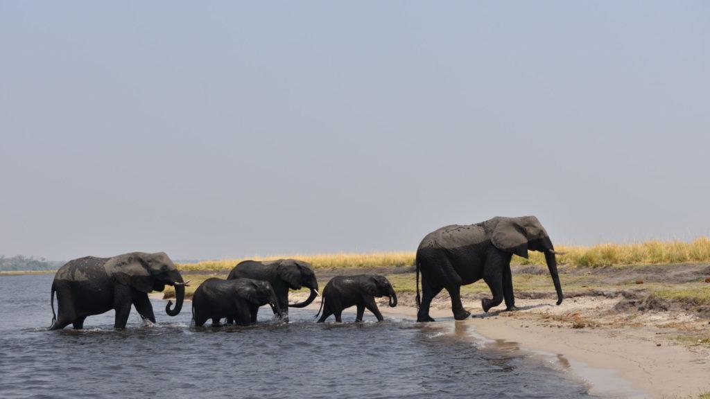 Elefanten erreichen das Ufer des Chobe Rivers