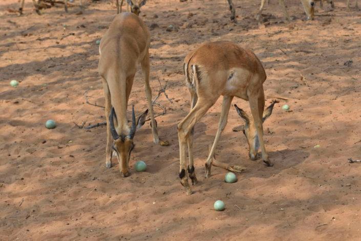 Zwei Impalas mit Früchten