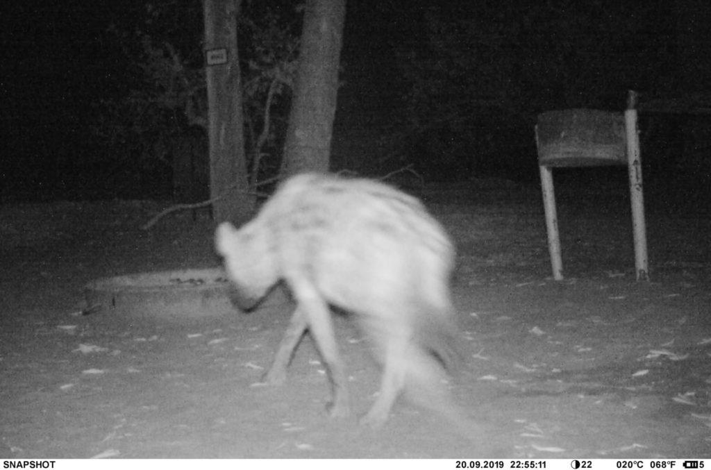 Hyäne auf der Khwai Campsite MK2