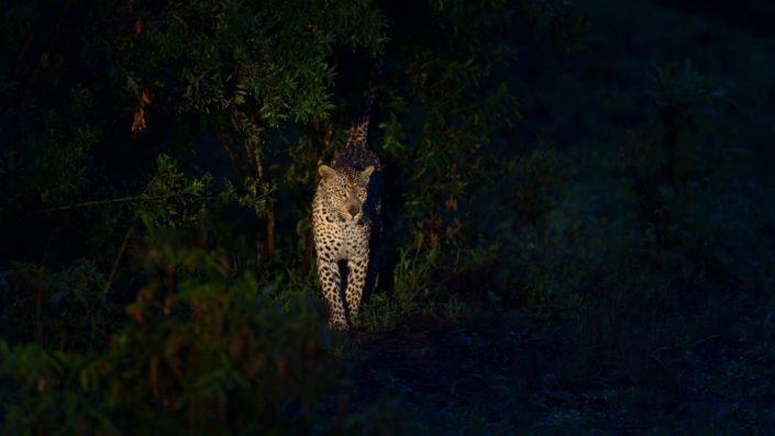 Leopard während der Nacht im Sabi Sand Game Reserve