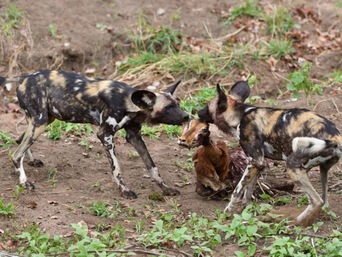 Wild Dogs Kruger 2019