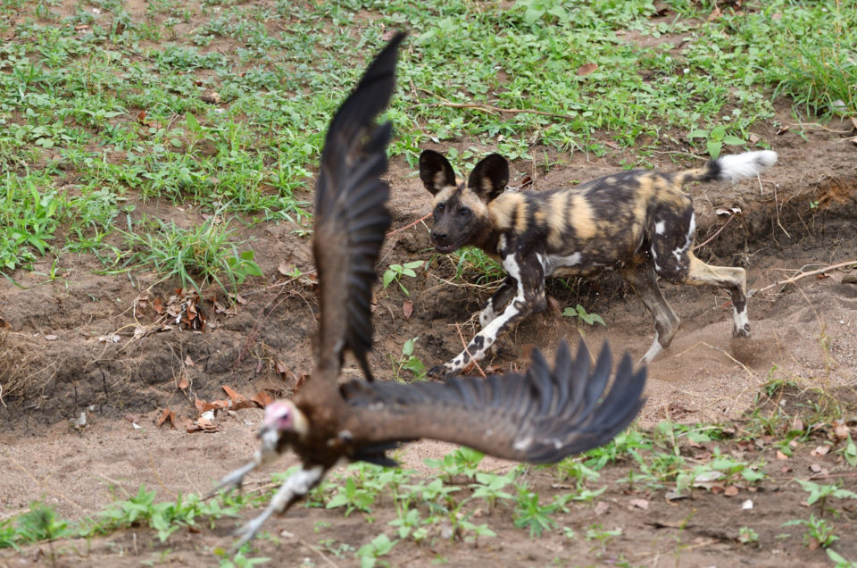 Wild Dogs verteidigen ihren Kill