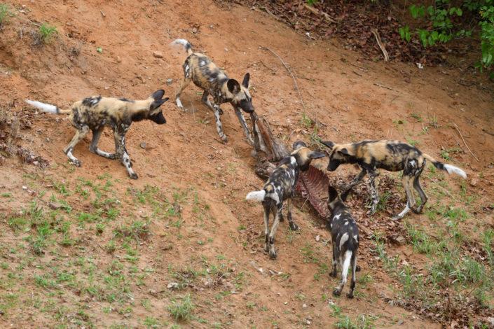 Die Wild Dogs verteidigen ihren Kill