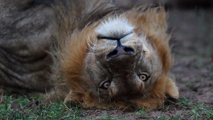Löwe auf dem Kopf