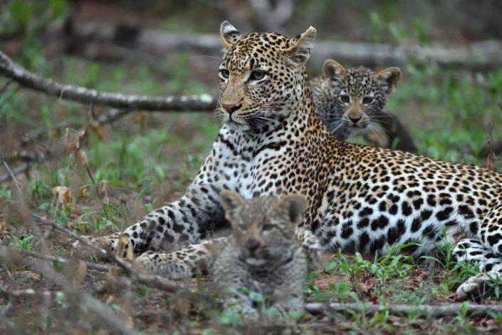 Leopardin mit zwei Jungen