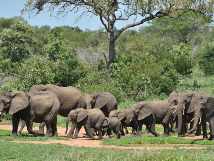 Elephants with tiny Baby Kruger National Park