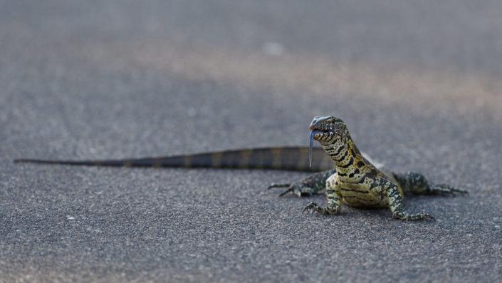 Monitor Lizard - Waran - Kruger