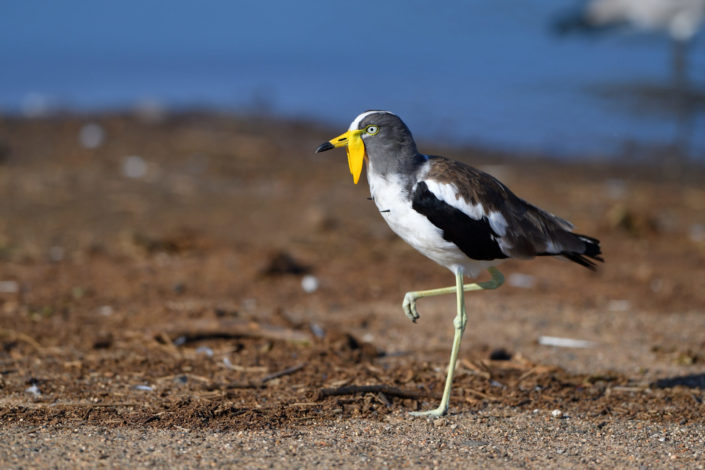 White-crowned Lapwing @ Sunset Dam