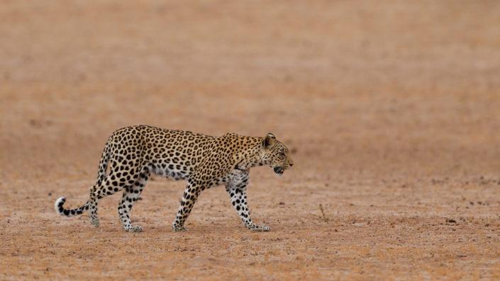 Leopardin Miera