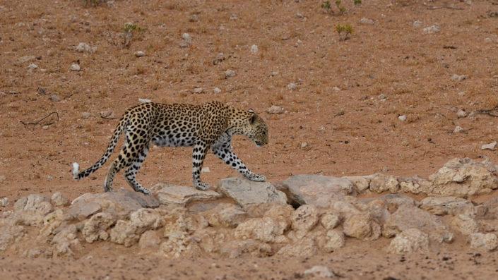 Leopardin Miera am Batulama Wasserloch, Auob River