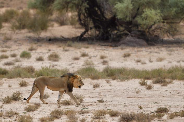 Löwe im Auob River