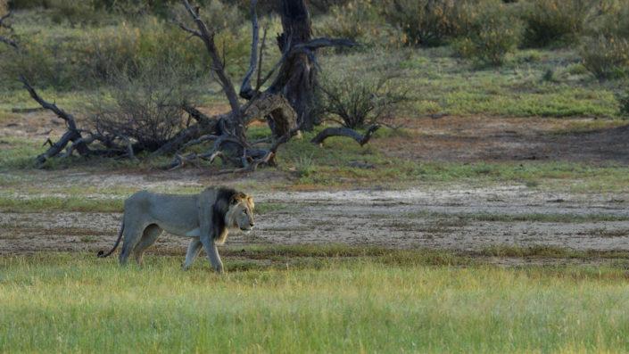 Löwe im nördlichen Nossob River