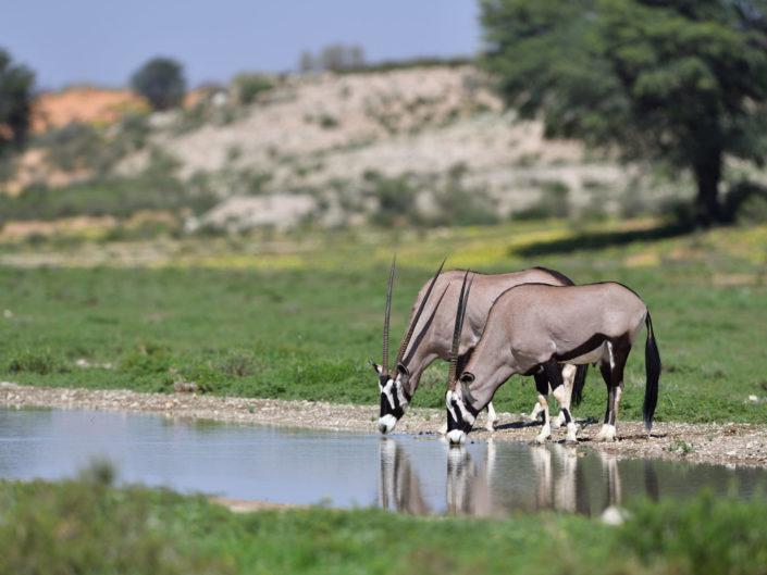 Kgalagadi Nossob River 2020